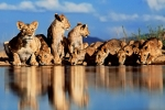 Lionesses & Cubs by Greg du Toit